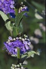 Chaste Tree Berry  (Vitex agnus-castus)
