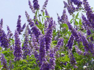 vitex-plant-chaste-tree-fertility